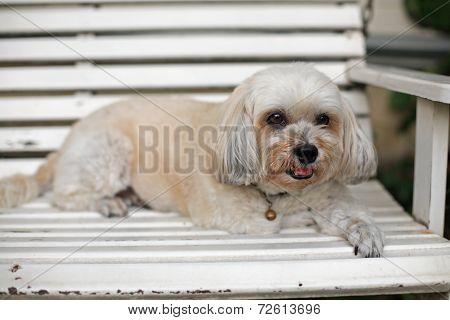 Adorable Shih Tzu Puppy Relaxing