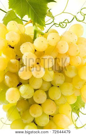 Golden Grapes Bunch Texture On White