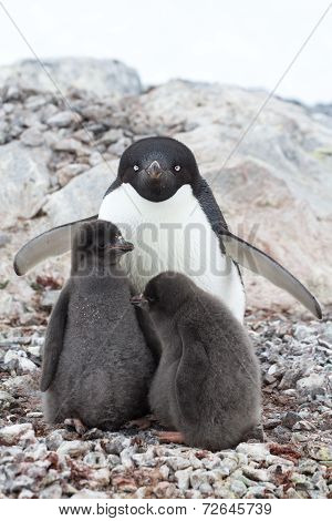 Female And Two Chicks Adelie Penguin Sitting In A Nest On A Summer Day
