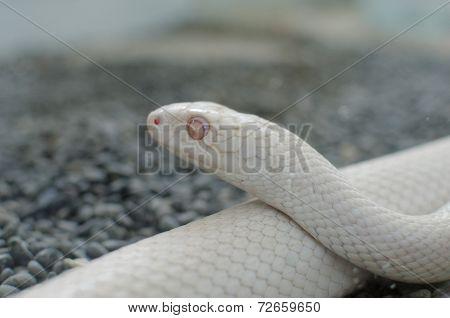 texas rat snake or Elaphe Obsoleta