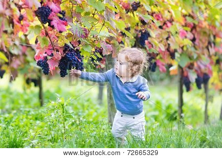 Cute Baby Girl Eating Fresh Ripe Grapes In A Beautiful Sunny Autumn Vine Yard