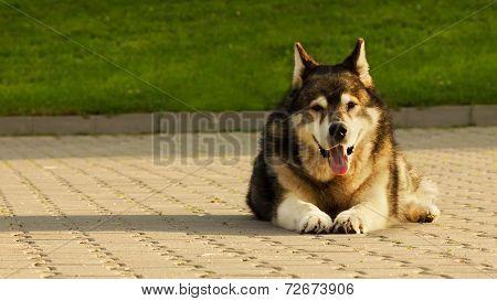 Malamute Dog Laying On Concrete