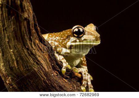 Mission Golden-eyed Tree Frog Or Amazon Milk Frog (trachycephalus Resinifictrix)