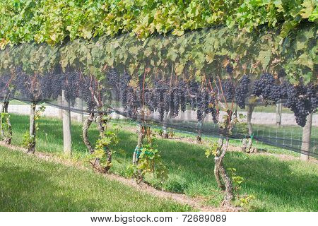 Wine grapes on the vine with wire mesh