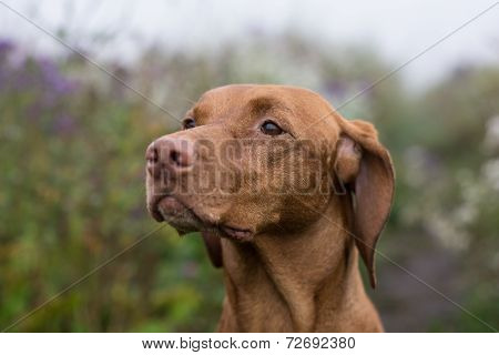 Female Vizsla Dog In A Field