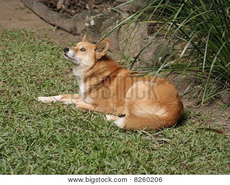 Australian Dingo, Queensland
