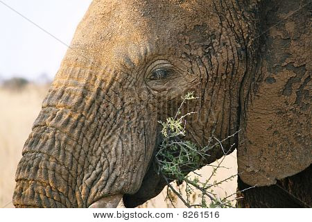 Elephant Eating Thorn tree