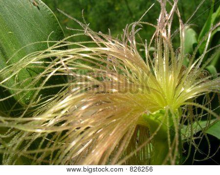corn fringe
