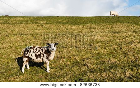 Brown And White Sheep Standing On The Slope Of A Dike