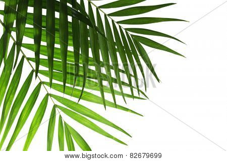 Leaf of palm isolated on white