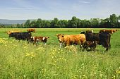 A herd of Cattle grazing on a pasture poster