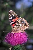 Painted Lady Butterfly (Vanessa virginiensis) at Shabbona Lake State Park in northern Illinois poster