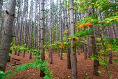 A pine plantation within Sleeping Bear Dunes National Lakeshore grows tall and straight. A soft bed of pine needles covers the bed of this pine forest and splashes of autumn color dot the scene as you drive along Pierce Stocking Scenic Drive. poster