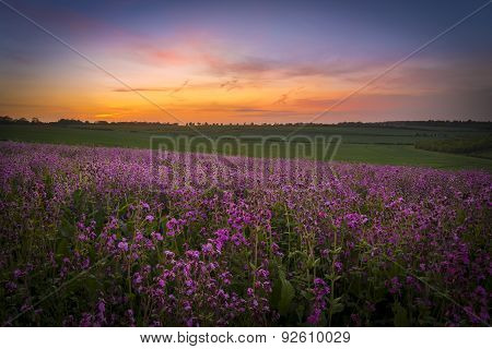 Field Of Red Campion At Sunset