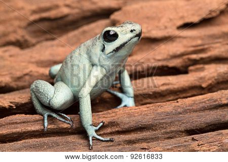 poison arrow frog, poisonous animal Phyllobates terribilis from the tropical amazon rain forest of Colombia