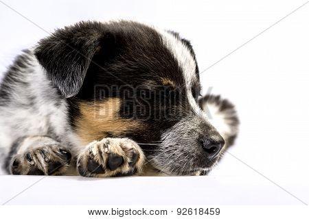 Cute Texas Heeler Puppy Sleeping