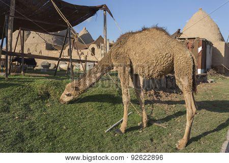 Camel At Harran City, Turkey