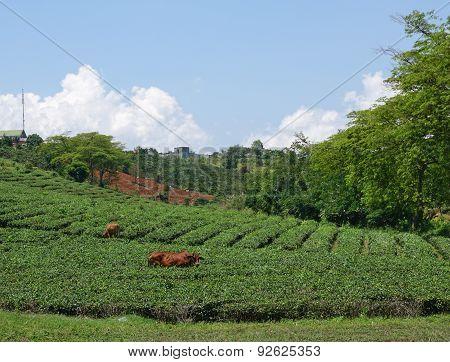 Tea Farm At Bao Loc Highland