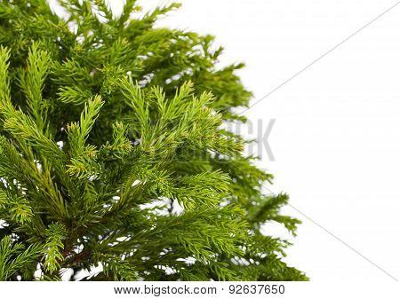 Cryptomeria Japonica 'globosa Nana' (dwarf Globe Japanese Cedar)