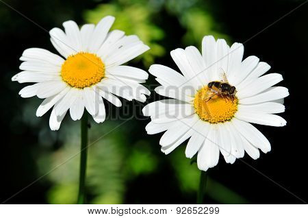 Two flowers chamomile. On one of the daisies bee sits.