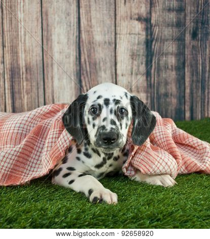 Sleepy Dalmatian Puppy