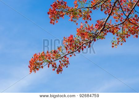Royal Poinciana, Flamboyant, Flame Tree In The Blue Sky