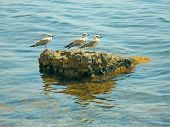 three seagulls on the stone in sea poster