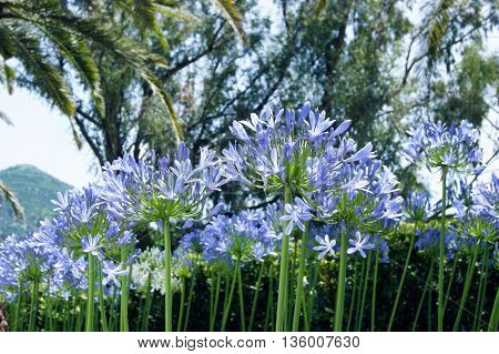 A flower bed with blooming blue agapanthus