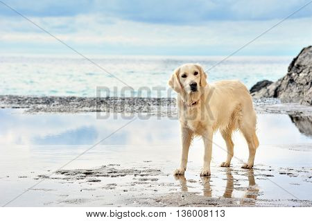 white golden retriever on the seafront background