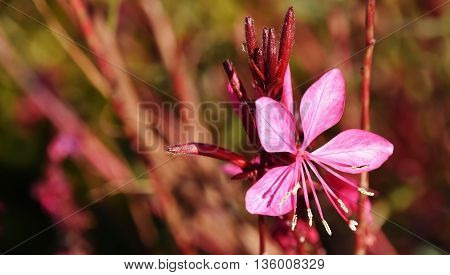 Close up of a little pink blossom in sunlight