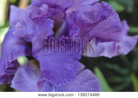 flowers irises bloom beautiful and delicate flowers