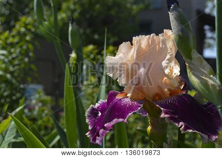 flowers irises bloom beautiful and delicate flowers