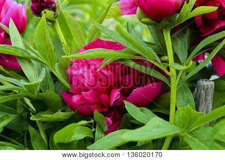 peony flowers bloom in spring with beautiful red flowers