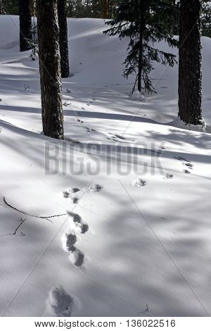 In the woods in deep snow ran the hare and left traces.