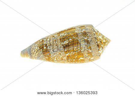 conus shell on white background. .. .