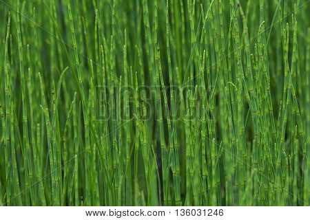 thickets of bright green horsetail in a swamp closeup