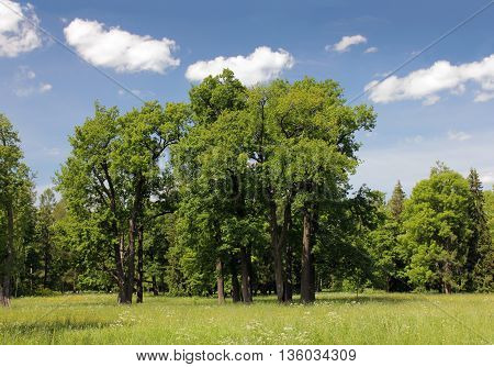 Landscape with oak trees in a meadow near the forest at sunny summer day.