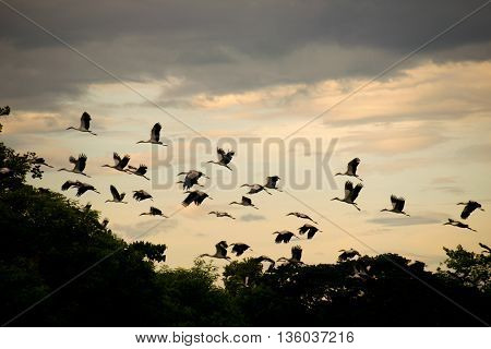 Open-billed stork or Asian openbill Bird group flying in evening time