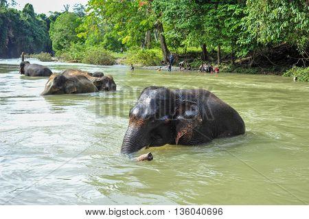 SUMATRA, INDONESIA - 27 MAY 2015: Protected Sumatran Elephant are bathing in the Batang River, in Gunung Leuser National Park of Tangkahan in 27 May 2015
