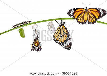 Isolated Transformation Of Common Tiger Butterfly Emerging From Cocoon