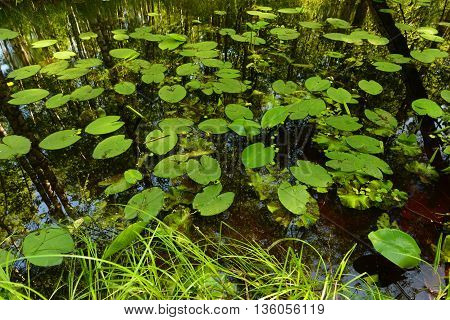 Summer forest river in thickets of water lilies