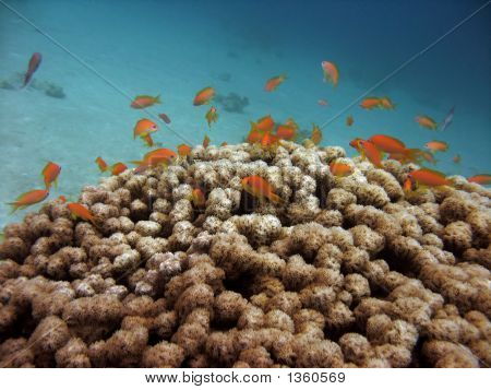 Anthias And Coral