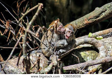 Young Sumatran Maqaque Monkey fighting with each other biting other monkey's ear in Bukit Lawang Raninforest Sumatra indonesia