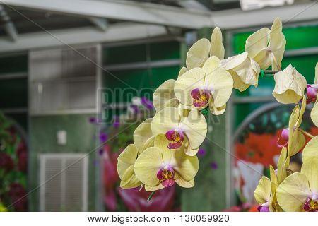Paphiopedilum Orchidaceae Flower