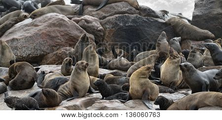 Colony Of The Cape Fur Seals, Namibia