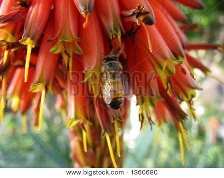 Bee On Aloe Flowers