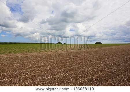 a potato crop in chalky soil in the yorkshire wolds england under a blue cloudy sky