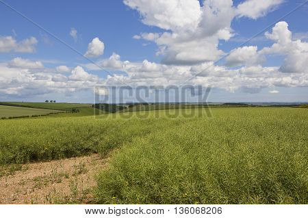 an oil seed rape crop in the scenery of the yorkshire wolds under a blue cloudy sky in summer