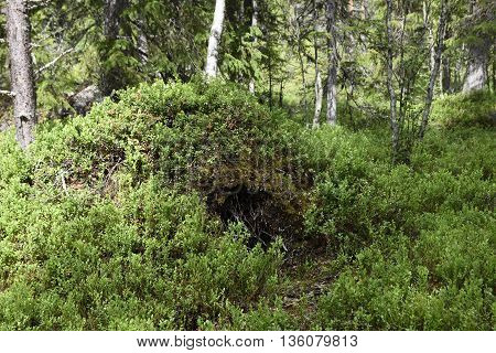 Bears den excavated from an anthill photo from North of Sweden.