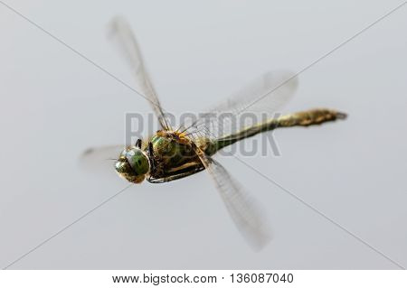 Downy Emerald dragonfly (Cordulia aenea) in flight.